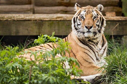 Tiger, Rescue, Carolina Tiger Rescue, Pittsboro Nc