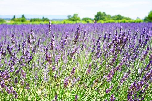 Lavender Flowers, Blue, Flowers, Purple, Dunkellia