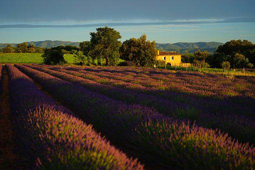 Lavender Field, Evening Light, Evening