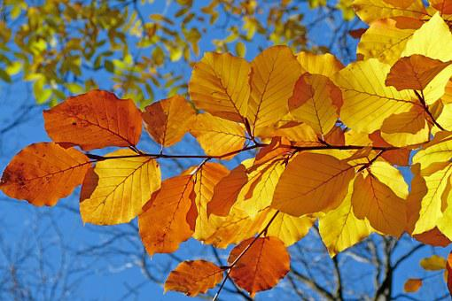 Foliage, Beech, Leaves, Fall, Bright Colors, Contrast