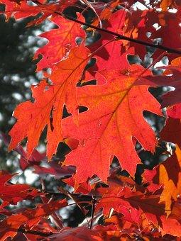 Leaf, Autumn, Leaves, Forest, Red Leaf, Light, Sun