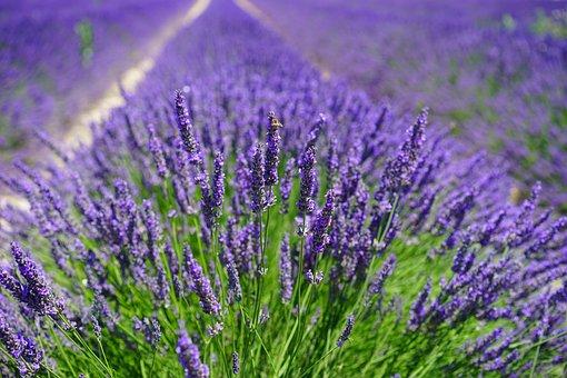 Lavender Field, Flowers, Purple, Flora, Floral