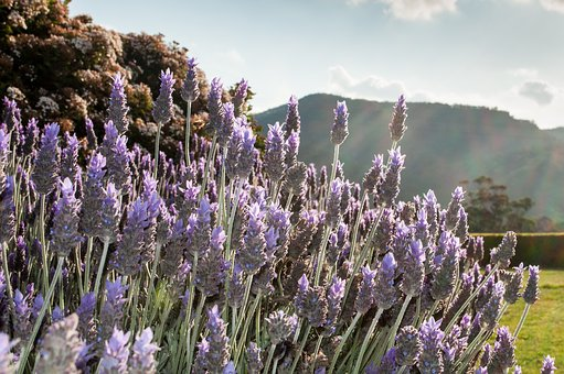 Lavender, Outdoor, Nature, Summer, Field, Purple