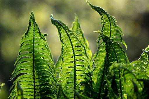 Fern, Ferns, Green, Nature, Foliage, Garden, Plant