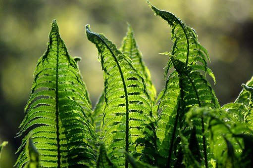 Fern, Ferns, Green, Nature, Foliage, Garden, Plant