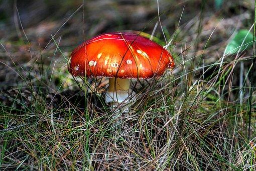 Fly Agaric, Mushroom, Macro, Close, Forest