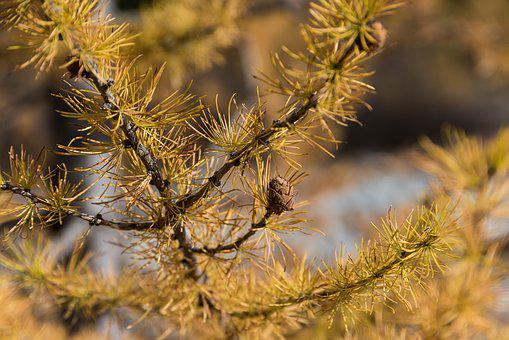 Autumn, Larch, Larch Discoloration, Fall Color