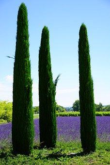 Cypress, Lavender Field, Lavender, Lavender Cultivation
