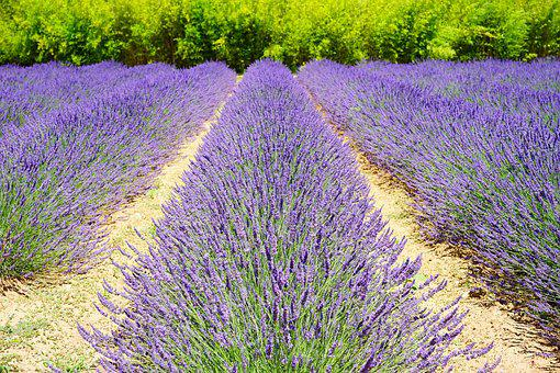 Lavender Field, Lavender Cultivation