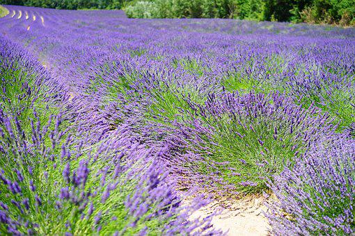 Lavender Cultivation, Lavender, Lavender Field