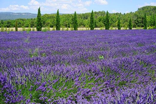 Lavender, Lavender Field, Lavender Flowers, Cypress