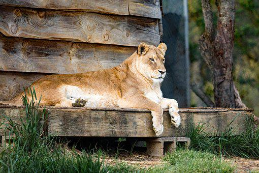 Lion, Lioness, Carolina Tiger Rescue, Pittsboro Nc