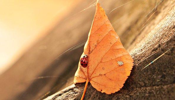 Ladybug, Leaves, Foliage Leaf, Insect, Beetle, Nature