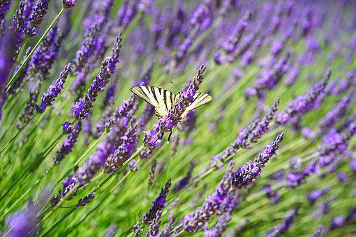 Butterfly, Dovetail, Lavender Field, Flowers, Purple