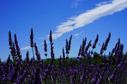 Lavender Flowers, Flowers, Purple, Flora, Floral