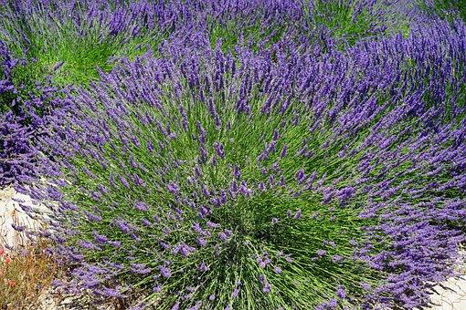 Lavender Bush, Lavender Flowers, Flowers, Purple, Flora