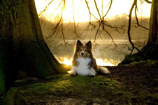 Sheltie, Bitch, Lying, Sunset, Moss