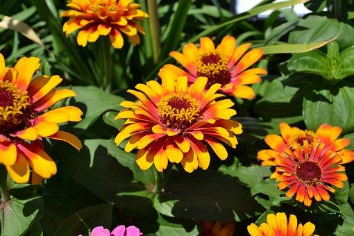 Flowers, Summer, Orange, Yellow, Nature, Flora, Zinnia