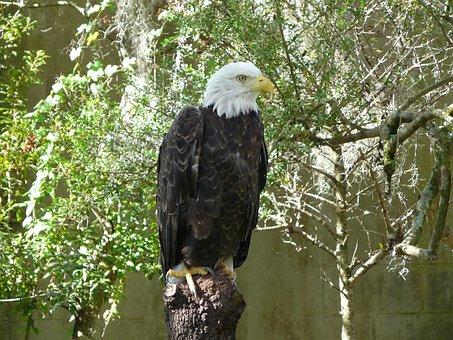 Animals, Adler, Raptor, Nature, Birds, Bald Eagles