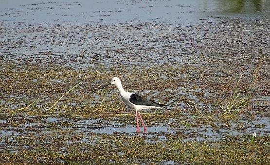 Bird, Black-winged Stilt, Common Stilt, Pied Stilt