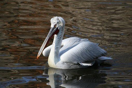Bird, Water, Wave, Dalmatian Pelican, Birds, Lake