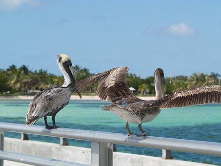 Brown Pelicans, Key West, White Street Fishing Peer
