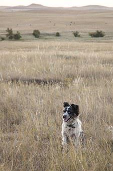Dog, Spotted, Border Collie, Pasture, Friend, Grassland