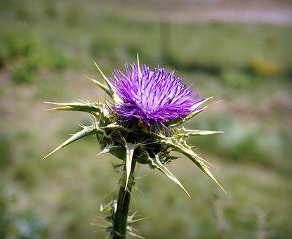 Thistle, Flower, Violet, Thorny, Thorns, Hawthorn