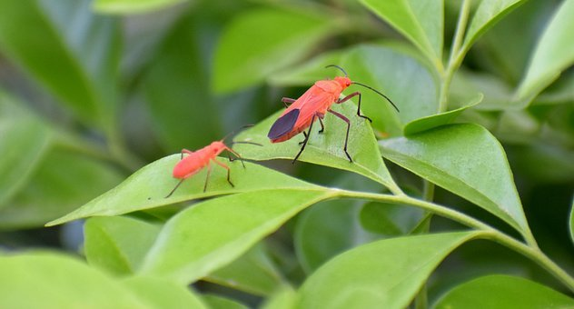 Boxelder Bugs, Insects, Adult, Nymph, Father And Son