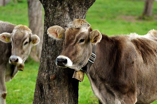 Cow, Allgäu, Cows, Cute, Ruminant, Dairy Cattle