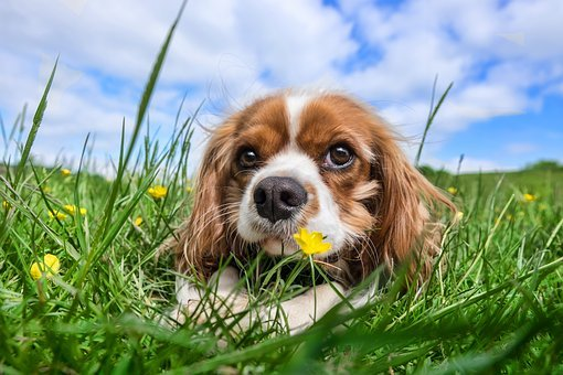 Dog, Pet, Animal, Cavalier, King, Charles, Spaniel