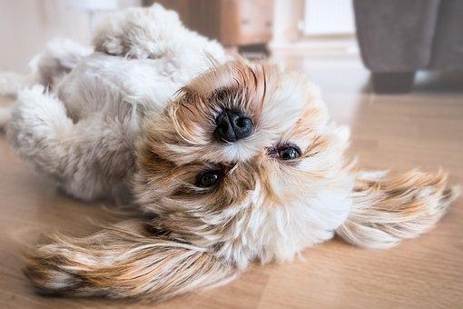 Dog, Lhasa Apso, Canine, Animal, Pet, Fun, Domestic