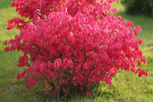 Charcoal Winged Dwarf, Shrub, Red, Fall, Autumn Leaves