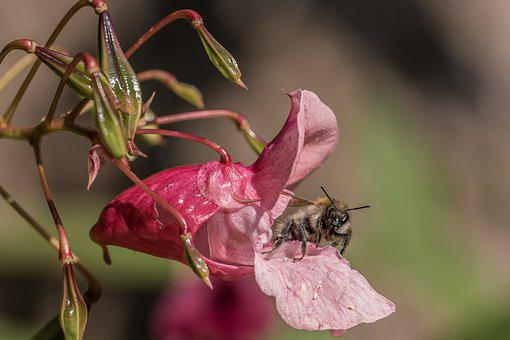 Balsam, Bee, Nectar, Collect, Blossom, Bloom, Macro