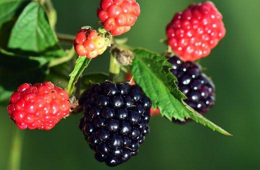Blackberries, Black, Ripe, Red, Immature, Late Summer
