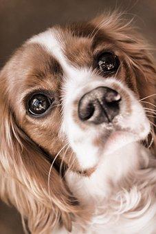 Dog, Cavalier, King, Charles, Spaniel, Pet, Animal