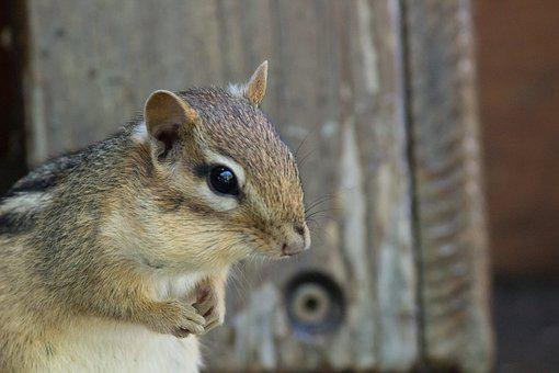 Chipmunk, Wildlife, Deck, Porch, Rodent, Fur, Wild