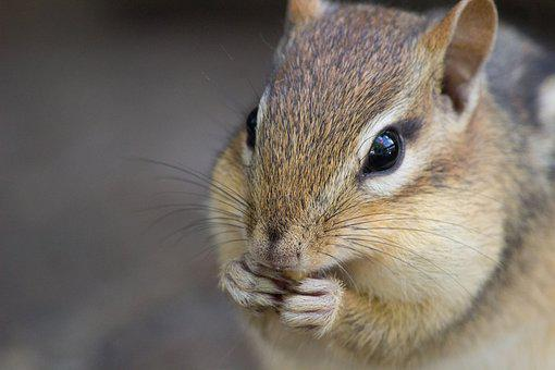 Chipmunk, Cute, Wildlife, Nature, Animal, Fur, Mammal