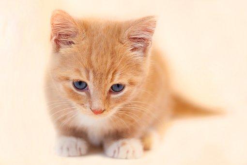 Cat, Kitten, Cute, Animal, Pet, Young, Kitty, Feline