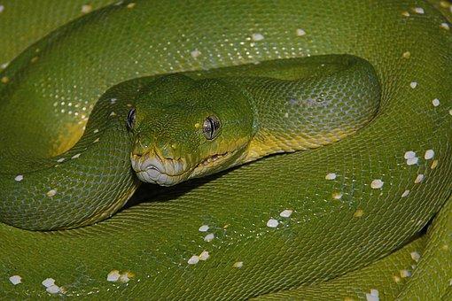 Snake, Green, Reptile, Animal, Dangerous, Poison