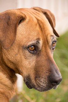 Dog, Looking, Brown, Eyes, Nose, Pet, Animal, Portrait