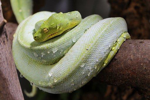 Snake, Water, Drip, Animal, Nature, Green, Close