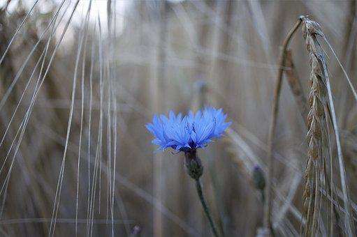 Cornflower, Flower, Nature, Grain, Cereals, Close
