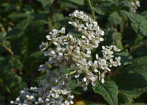 All Boneset, Flower, Wildflower, Blossom, Bloom, Plant