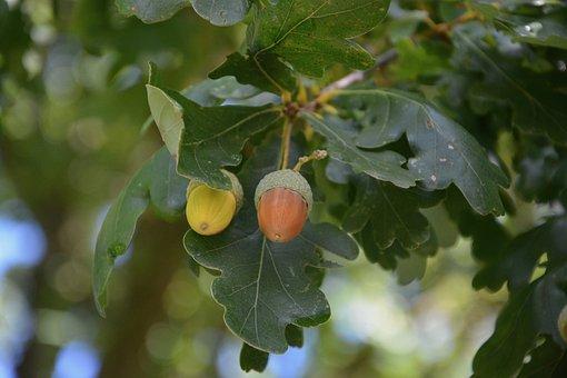 Acorn, Leaves Oak, Acorn Green, Acorn Brown, Fruit