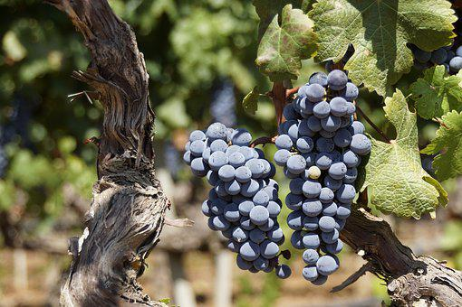 Grape, Blue, Fruit, Wine Harvest, Grapevine