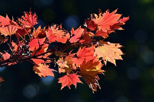 Japanese Fire Maple, Aureum, Autumn, Leaves, Colorful