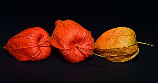 Lampionblume, Flower, Close, Orange, Autumn Flower