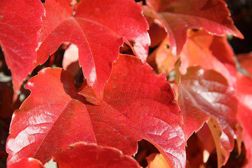 Leaves, Autumn, Red, Golden Autumn, Fall Leaves, Leaf