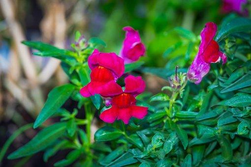 Loewenmaeulchen, Flower, Flowers, Snapdragon